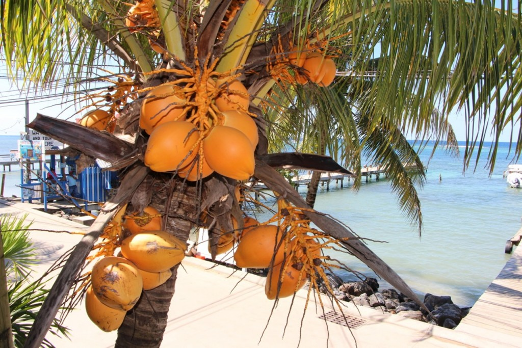 Coconuts are abundant on the island and in there is no shortage of them near the Roatan hotels!