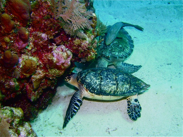 Diving with turtles off Roatan