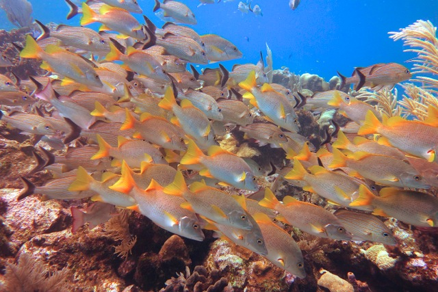 School of fish spotting on a Roatan discovery dive