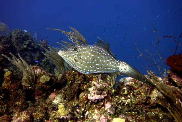 Diving in Roatan gives you front row seats to beautiful fish like this one.