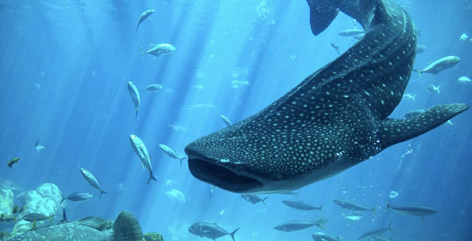 roatan-whale-shark