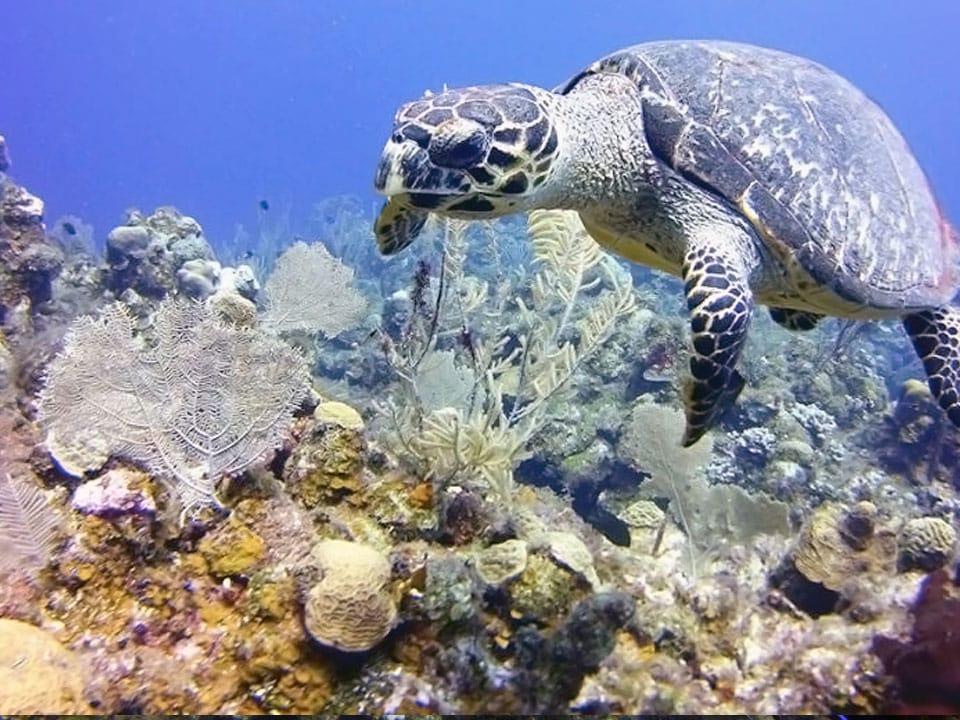 dsd-turtle